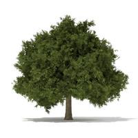 European Yew (Taxus baccata) 6.2m