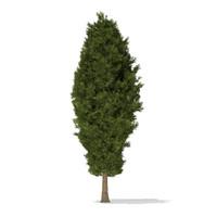 European Yew (Taxus baccata) 10.7m