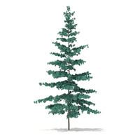 Blue Atlas Cedar (Cedrus atlantica) 2.7m