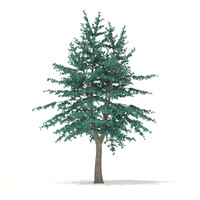 Blue Atlas Cedar (Cedrus atlantica) 2.9m