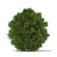 White Cedar (Thuja occidentalis) 1.2m
