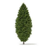 White Cedar (Thuja occidentalis) 3.4m