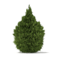 White Cedar (Thuja occidentalis) 2m