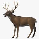 White-tailed Deer 3D models