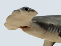 Hammerhead shark rigged and animated