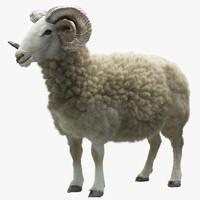 Ram (Sheep)(1)