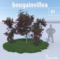 Bougainvillea 1