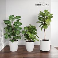Ficus Lyrata Trees (Fiddle-Leaf Fig)