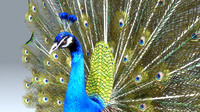 3d model pavo peacock