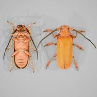 Longhorn Beetle Cerambycidae Joessi Sanguinolenta