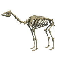 Arabian Camel Skeleton Dromedary 3D Model