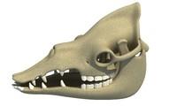 Dromedary Camel Skull