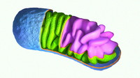 Mitochondrium Cartoon like