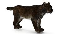 Lynx bobcat