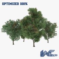 Melia Azedarach Trees