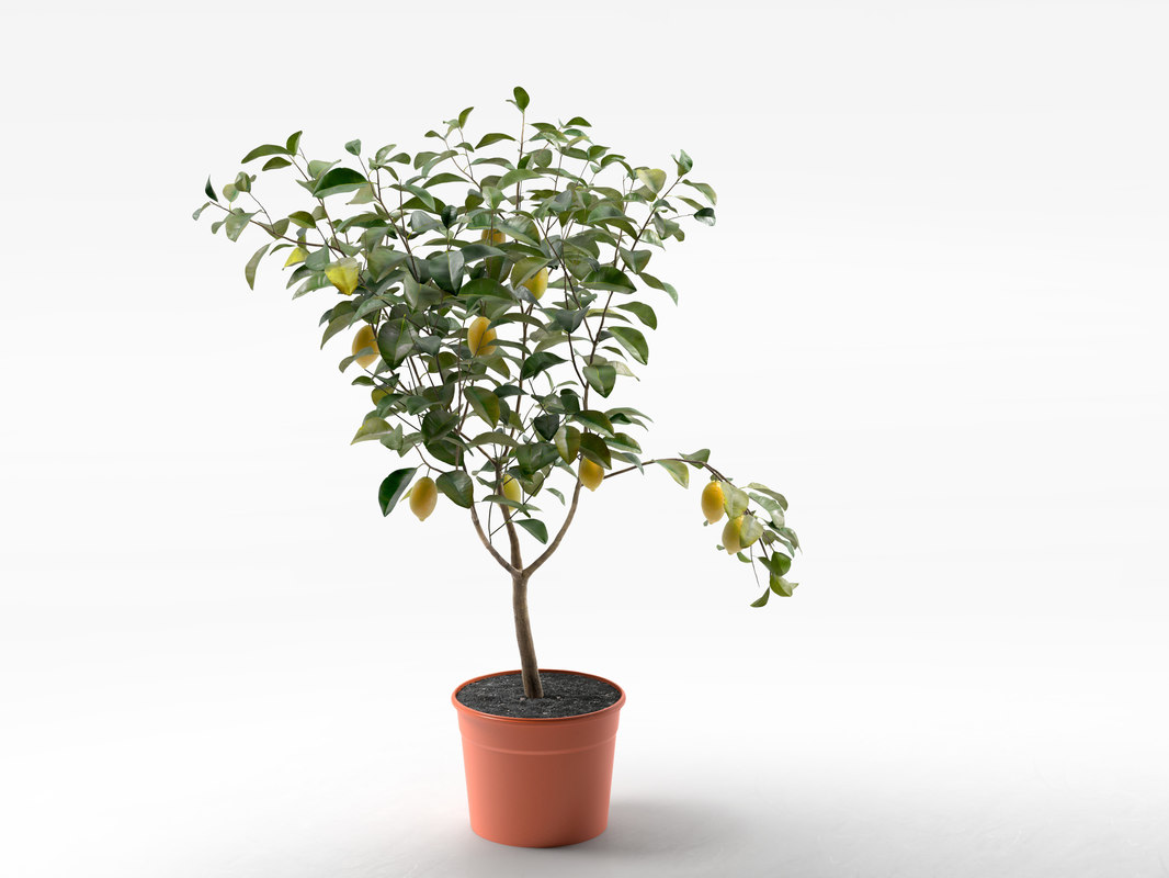 Lemon Tree in Pot 02 1.jpg