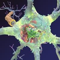 neuron synapses myelin 3d model
