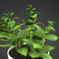 home plant Zamioculcas