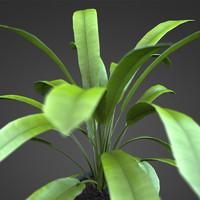 Home plant ASPIDISTRA