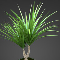 home plant Yucca