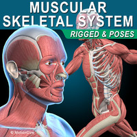 Muscles & Skeleton ( Rigged )