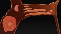 Excretory system of Ascaris