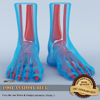 3d foot anatomy model