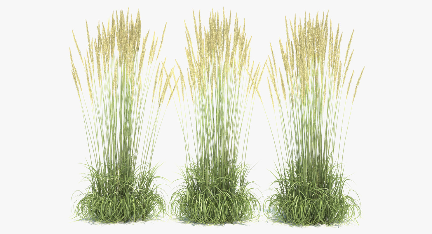 Calamagrostis x acutiflora karl 3d max for Long ornamental grass