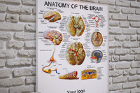Medical stand Anatomy of the brain