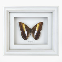 3d butterfly bicolour commodore model