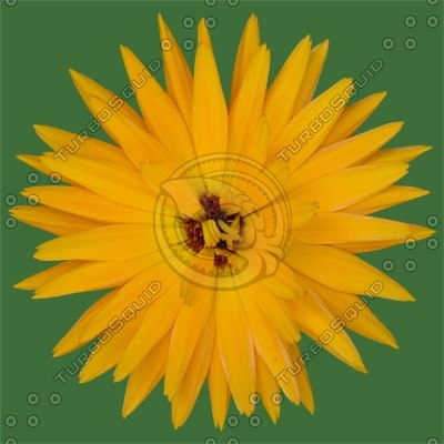 FLR012 orange flower marigold blossom
