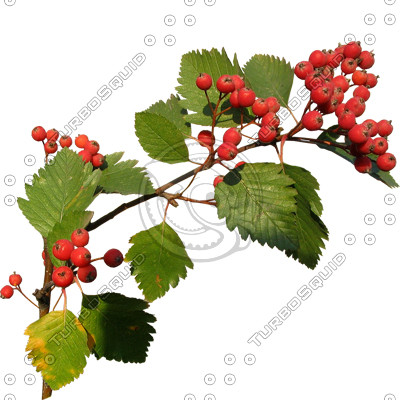 Branch_s_13.tga