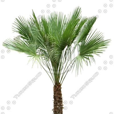 Palm_09.tga