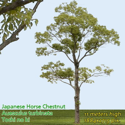 Japanese Horse Chestnut ------------------ High Resolution