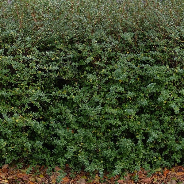 H009 hedgerow hedge hedging