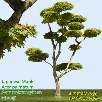 Japanese Mapple - High Resolution