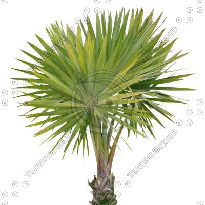 Palm_08.tga