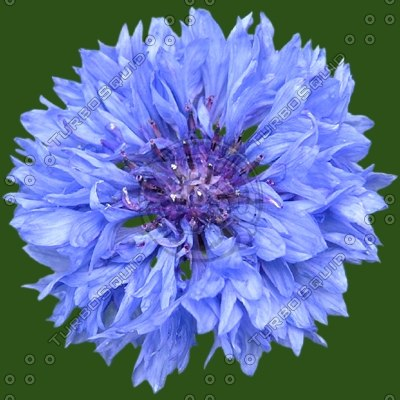 CornFlower blue flower texture