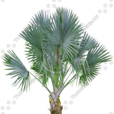 Palm_24.tga