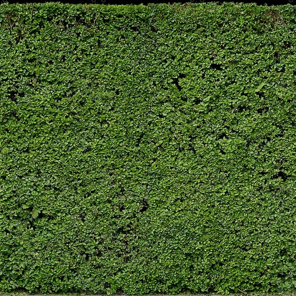 H007 privet hedge hedgerow