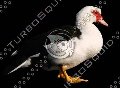 Duck_wAlpha.TGA