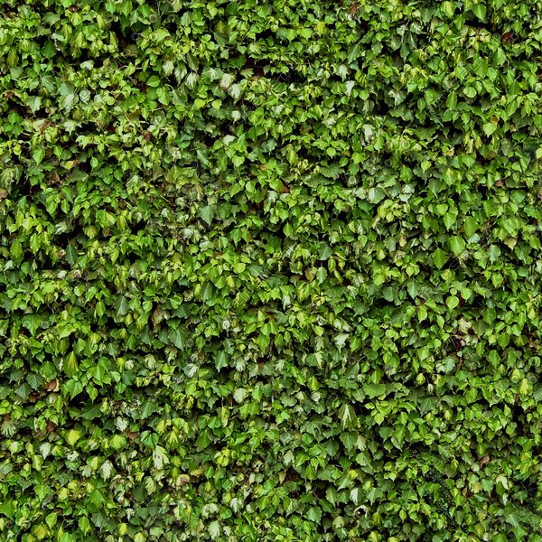 IV004 ivy wall texture