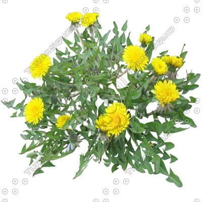 FlowerL_Dandelion_01_01.jpg