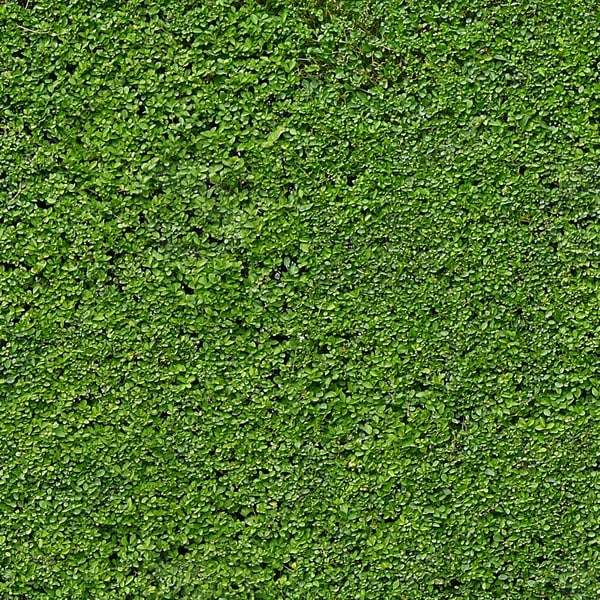 H006 privet hedge texture