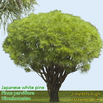 Japanese White Pine  High Resolution