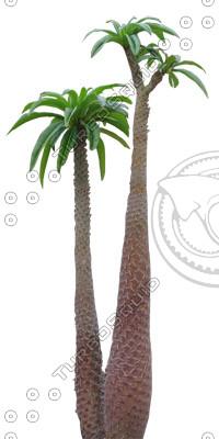 Palm_13.tga