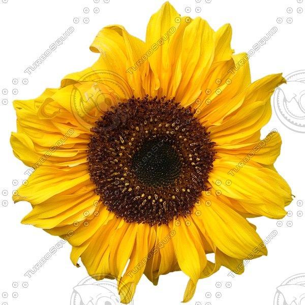 FLWR01 sunflower sun flower texture