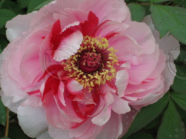 Orient 811 Ueno, Japan Peony garden.JPG