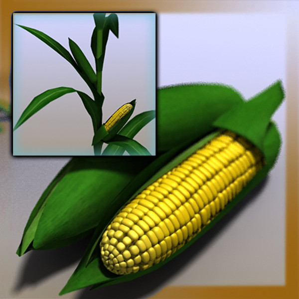 Corn Field Ear Stalk Maize