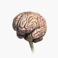 Human Brain (Textured)
